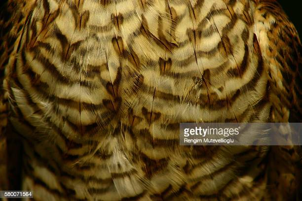 Closeup on hawk feathers