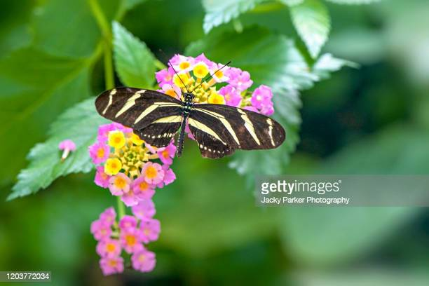 close-up open winged image of a zebra long wing butterfly collecting pollen from a lantana camara pink and yellow flowers - animated zebra stock pictures, royalty-free photos & images