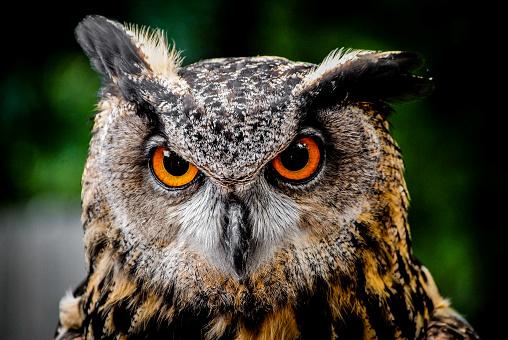 Close-Up Owl 1010851828
