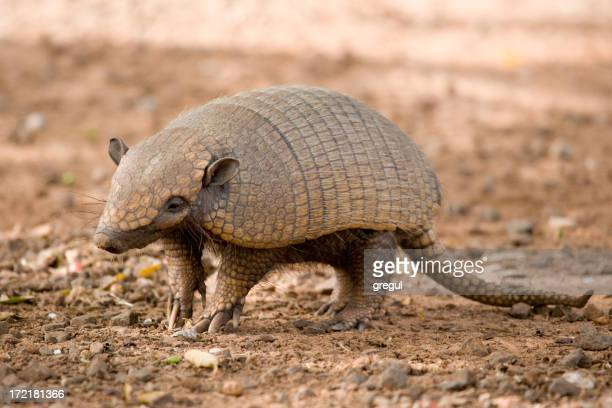 Close-up photo of an ambling, brown armadillo