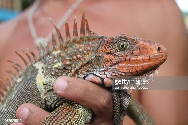 close-up photo of green iguana (iguana) holding by woman - iguana family stock photos and pictures