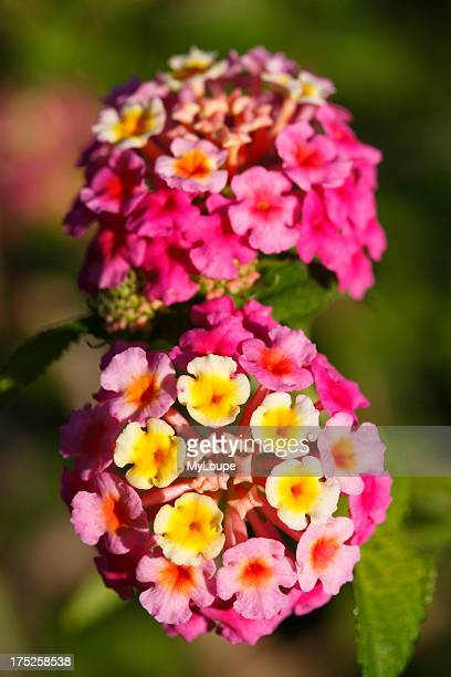 Closeup photo of Lantana Camara flowers