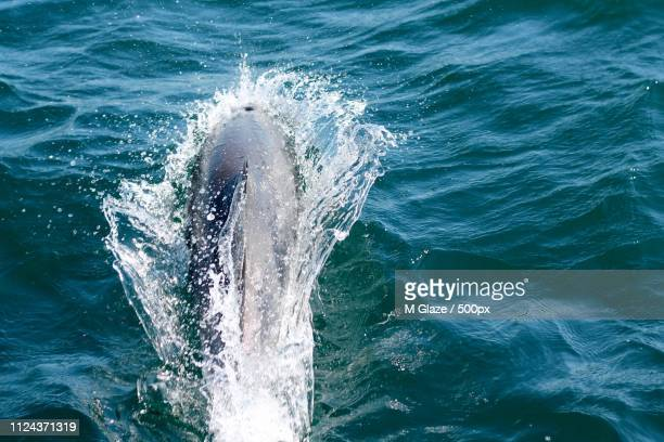 close-up photo of whale in sea - aquatic mammal stock pictures, royalty-free photos & images