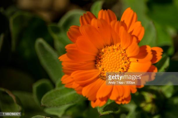close-up - pot marigold stock pictures, royalty-free photos & images