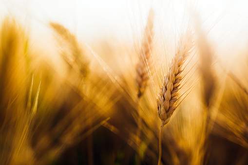 Close-up picture of golden wheat in countryside 954266802