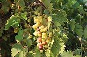photo grapes vine taken at vineyard