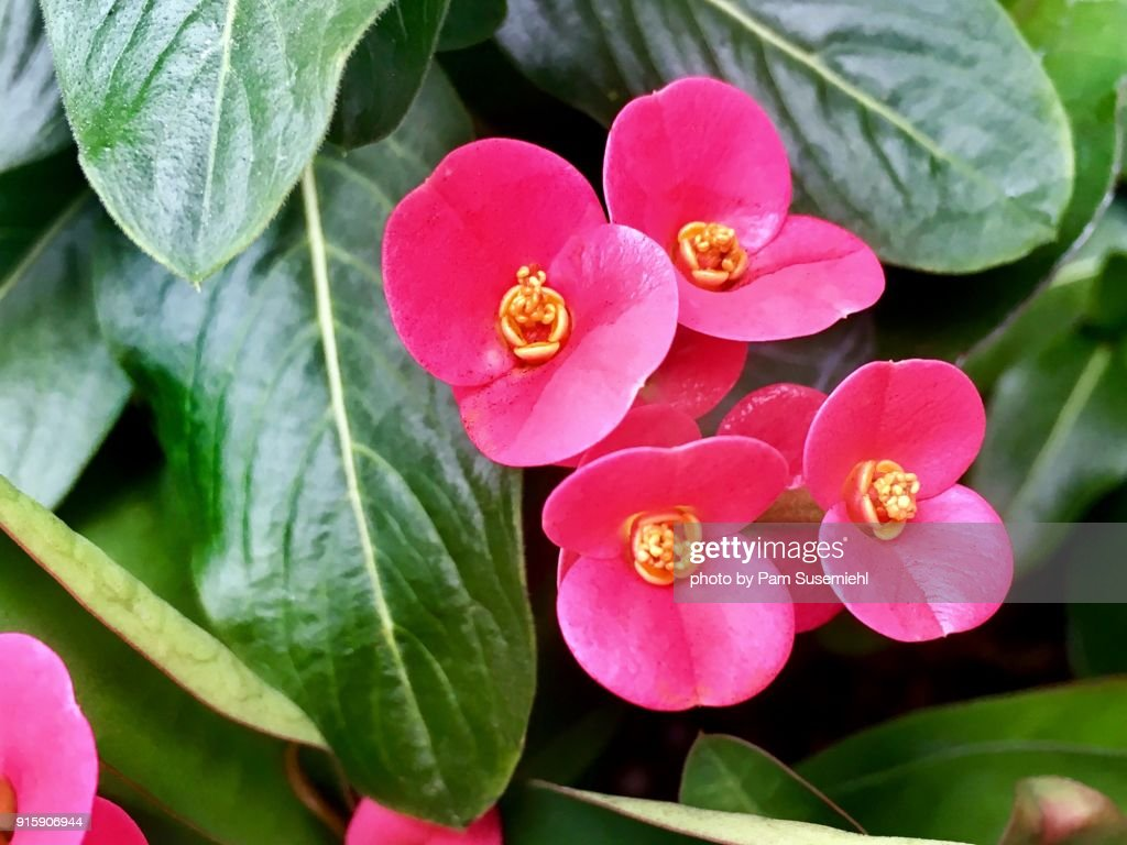 Closeup Pink Crown Of Thorns Flowers Stock Photo Getty Images