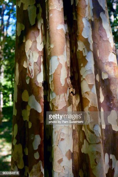Close-up, Platanus Kerrii Tree Bark, Cambodia
