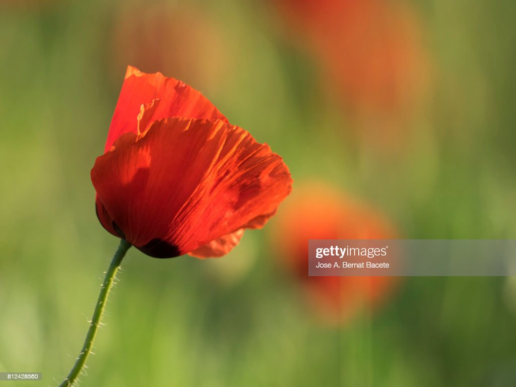 Oriental Poppy Stock Photos And Pictures Getty Images