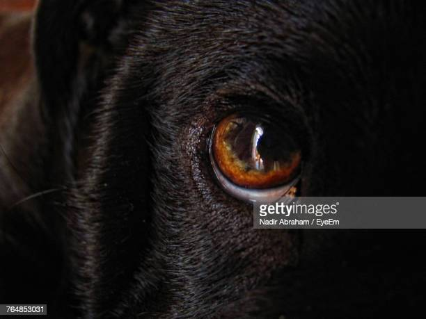 Close-Up Portrait Black Dog