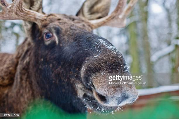 close-up portrait moose in forest during winter - bialowieza forest foto e immagini stock