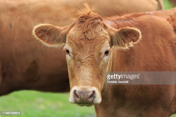 close-up portrait of a brown cow standing outdoors - gelbvieh red angus cross breed - ranch stock pictures, royalty-free photos & images