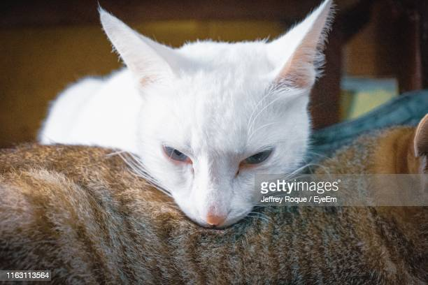 close-up portrait of a cat - jeffrey roque stock photos and pictures
