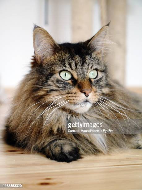 close-up portrait of a cat - maine coon cat stock pictures, royalty-free photos & images