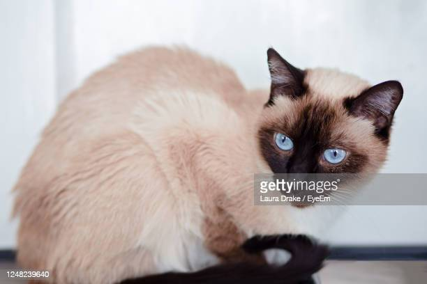 close-up portrait of a cat - siamese cat stock pictures, royalty-free photos & images