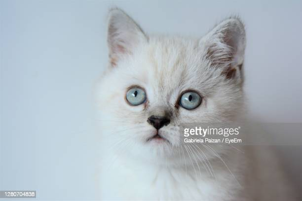 close-up portrait of a cat - british shorthair cat stock pictures, royalty-free photos & images