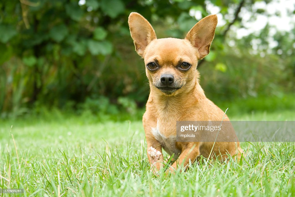 Close-up portrait of a chihuahua in the park : Stock Photo