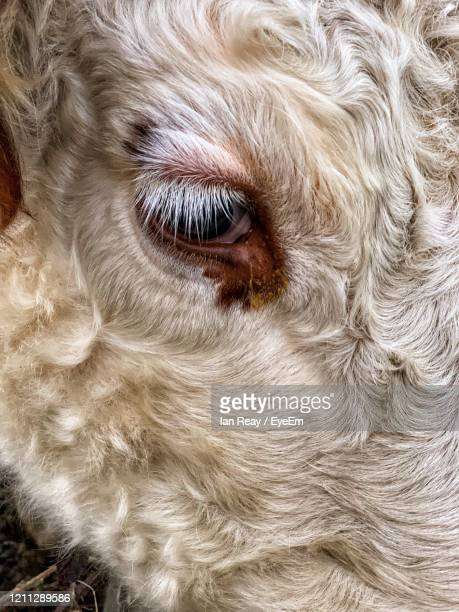 close-up portrait of a cow - cow eyes stock pictures, royalty-free photos & images