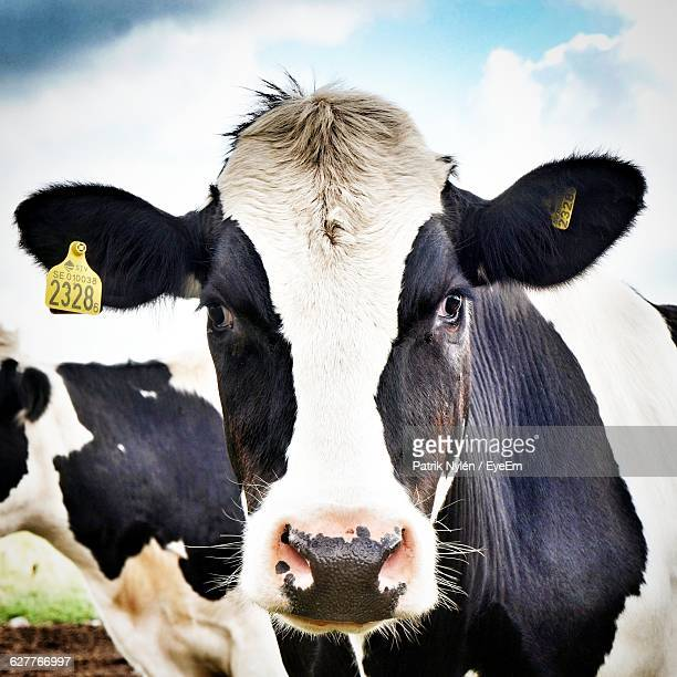 Close-Up Portrait Of A Cow