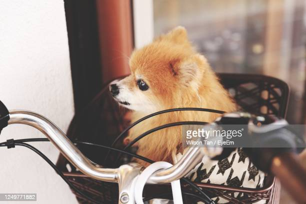 close-up portrait of a dog in a bicycle basket - japanese spitz stock pictures, royalty-free photos & images