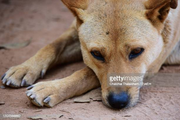 close-up portrait of a dog - chatchai thalaikham stock pictures, royalty-free photos & images