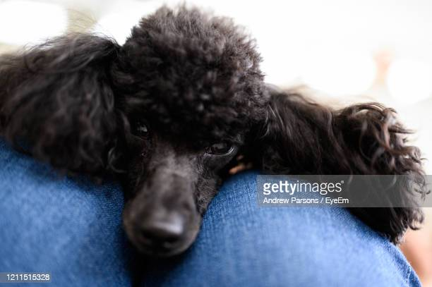 Fine Poodle Hairstyles Stock Pictures Royalty Free Photos Images Natural Hairstyles Runnerswayorg