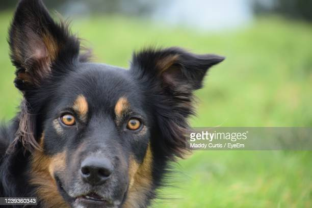 close-up portrait of a dog - truro cornwall stock pictures, royalty-free photos & images