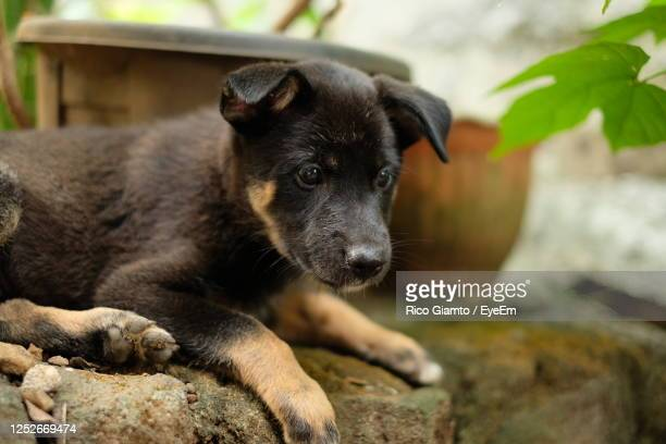close-up portrait of a dog - german shepherd stock pictures, royalty-free photos & images