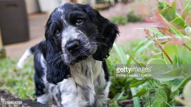 close-up portrait of a dog - cocker spaniel stock pictures, royalty-free photos & images