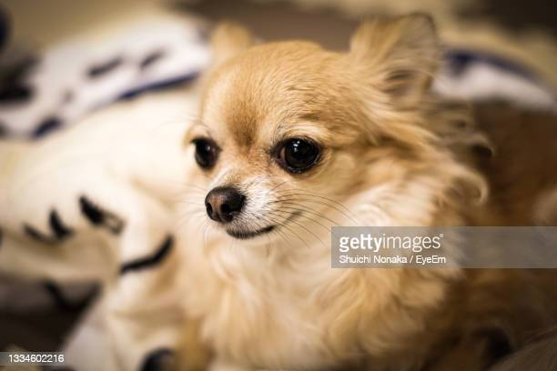close-up portrait of a dog - japanese spitz stock pictures, royalty-free photos & images