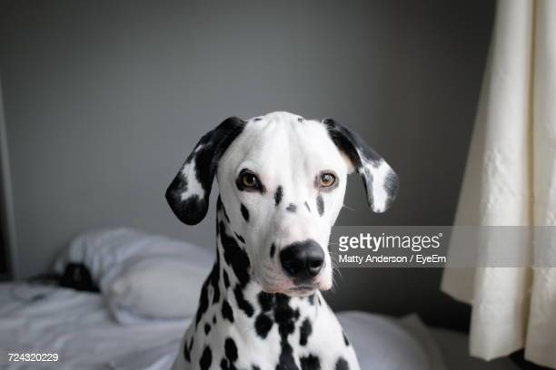 close-up portrait of a dog - dalmatian dog stock photos and pictures