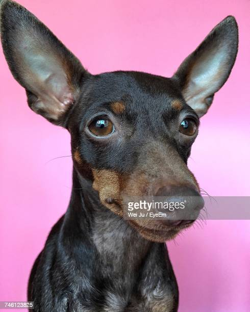 close-up portrait of a dog - animal ear stock photos and pictures