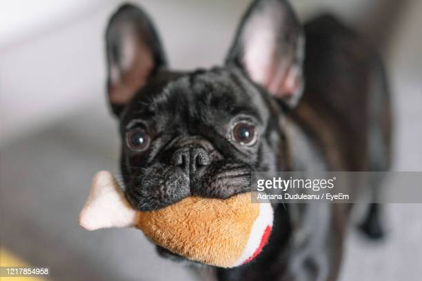 close-up portrait of a dog with toy - イヌのおもちゃ ストックフォトと画像