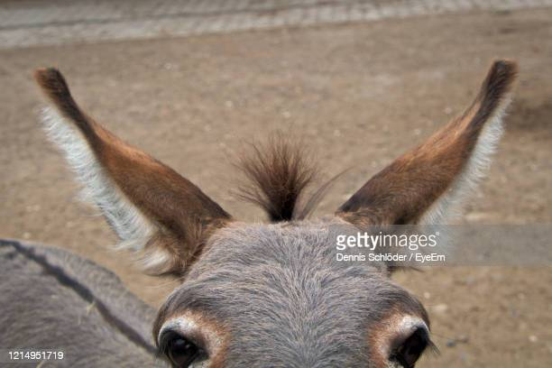 close-up portrait of a donkey - donkey stock pictures, royalty-free photos & images