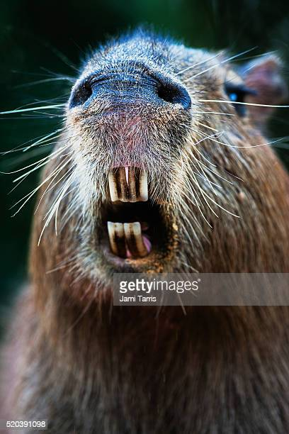 A close-up portrait of a female capybara yawning