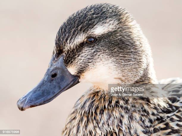 close-up portrait of a female mallard duck (anas platyrhynchos). tablas de daimiel, spain. - becco foto e immagini stock