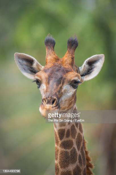 close-up portrait of a giraffe - animal head stock pictures, royalty-free photos & images