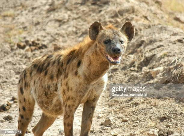 closeup portrait of a hungry, pregnant female spotted hyena (crocuta crocuta) in amboseli national park, kenya - spotted hyena stock pictures, royalty-free photos & images