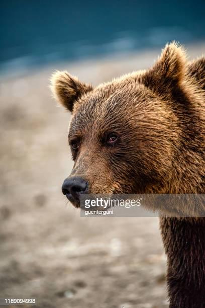 ritratto ravvicinato di un grande orso bruno, kamchatka - orso bruno foto e immagini stock
