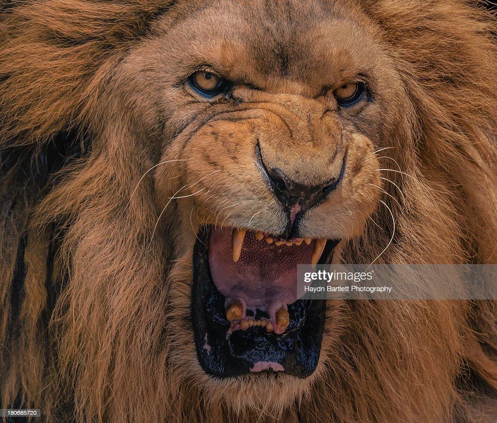 Closeup Portrait Of A Lions Roar Stock Photo | Getty Images