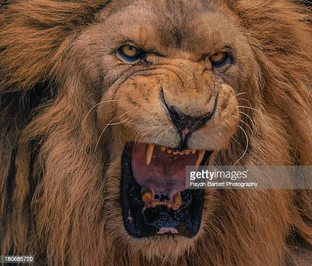 Close-up portrait of a Lion's roar