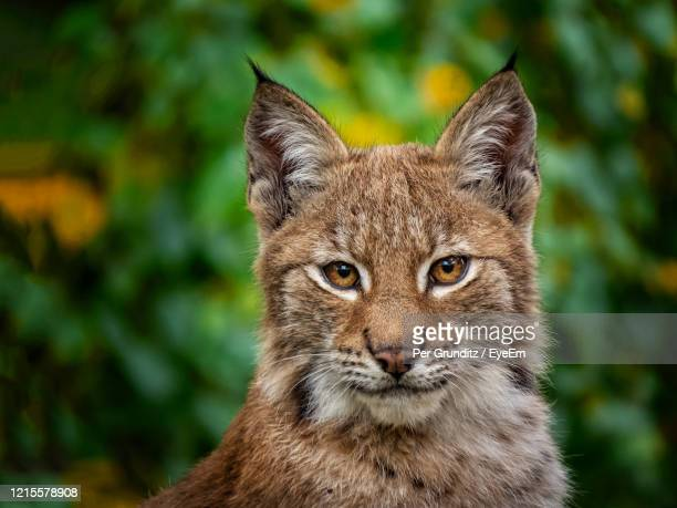 close-up portrait of a lynx with colorful tree background - lynx photos et images de collection