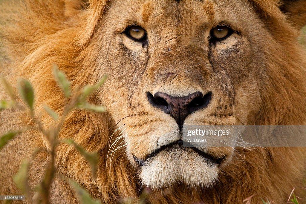 Close-up portrait of a majestic lion's solemn face : Stock Photo