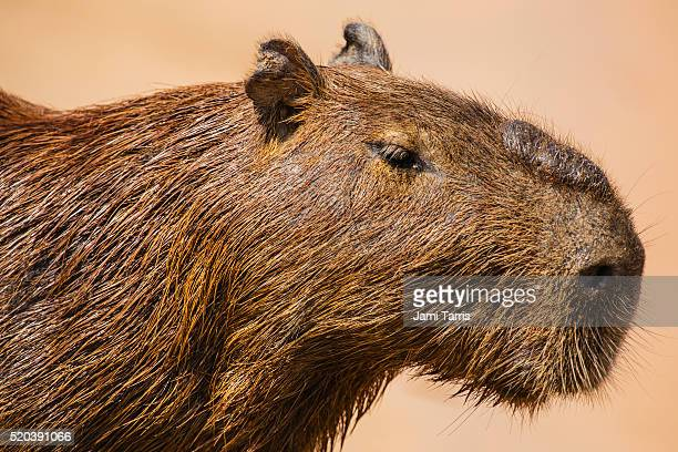 a close-up portrait of a male capybara and his scent gland - capybara stock pictures, royalty-free photos & images