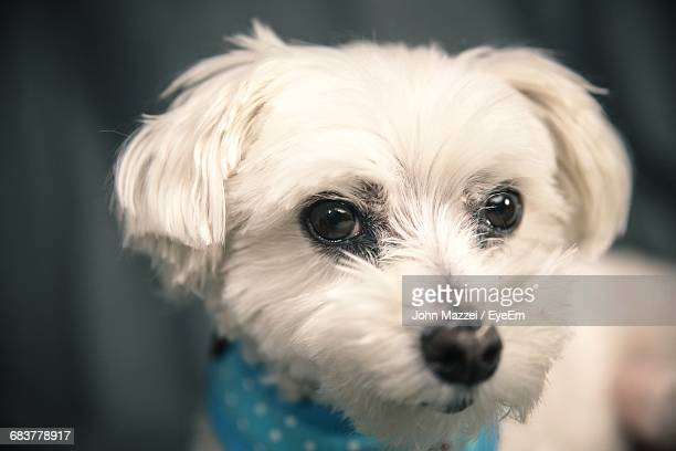 Close-Up Portrait Of A Maltese Dog