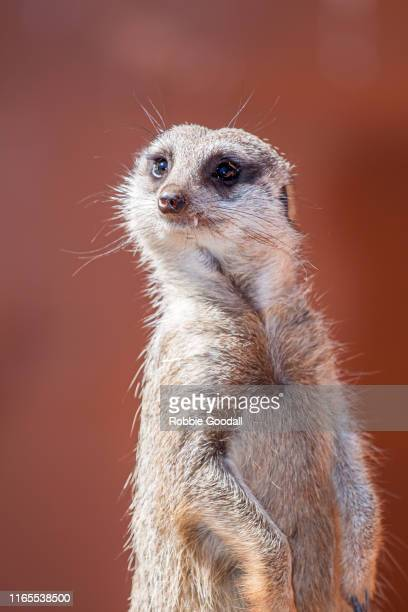 close-up portrait of a meerkat looking at the camera - ミーアキャット ストックフォトと画像
