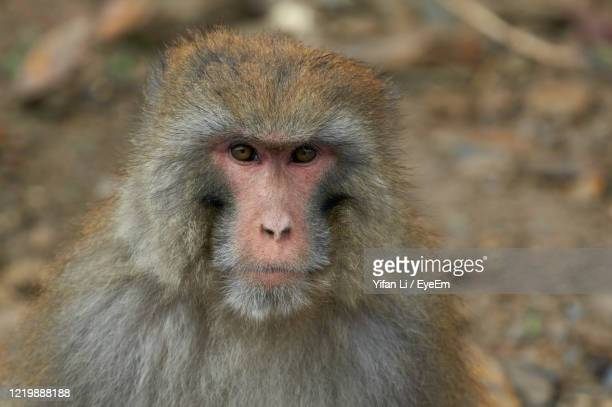 close-up portrait of a monkey - baboon stock pictures, royalty-free photos & images