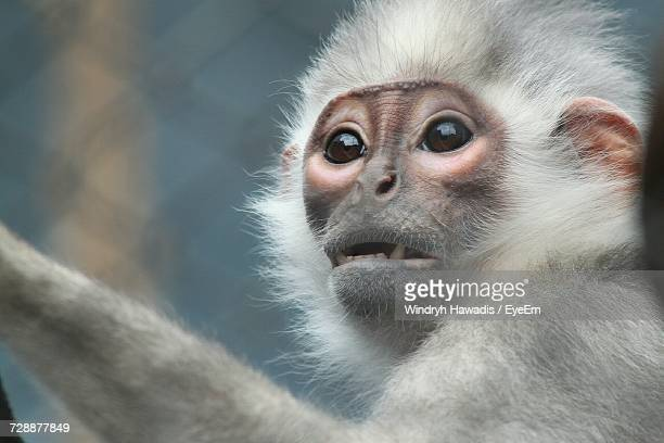 close-up portrait of a monkey - primate stock pictures, royalty-free photos & images