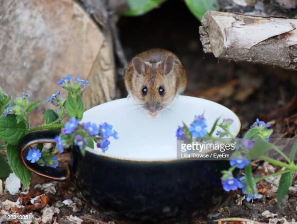 close-up portrait of a mouse - esher stock pictures, royalty-free photos & images