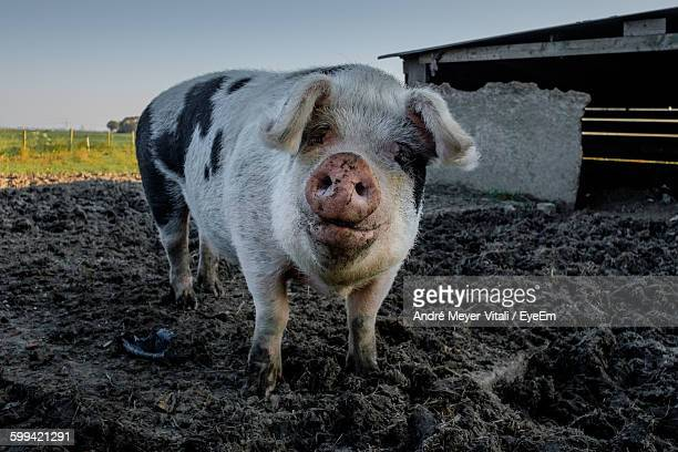 Close-Up Portrait Of A Pig